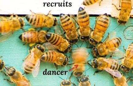 bee-dance